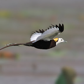 The Pheasant-tailed Jacana by Sharad Agrawal - Animals Birds ( bird, rajasthan, udaipur, wildlife, india, naature, birds, bif )