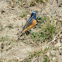 Blue Fronted Redstart