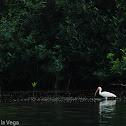 Ibis Blanca Americana - American White Ibis
