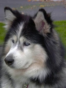 Alaskan Malamute Wallpapers - screenshot
