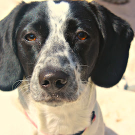 Paisley by Toni Haas - Animals - Dogs Portraits ( puppy  springer spanial, pointer, beagle )