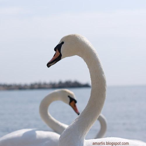 swans mangalia