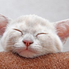 Sweet dreams by Mia Ikonen - Animals - Cats Kittens ( kitten, finland, sleeping, endearing, burmese, animal, sleep, rest, resting )