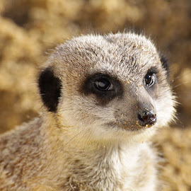 by Edward Heathcote - Animals Other ( meerkat, meerkats, suffolkowlsanctuary )