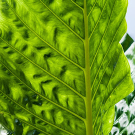 large leaf by Vibeke Friis - Nature Up Close Leaves & Grasses ( natural patterns, backlit, green, leaves,  )
