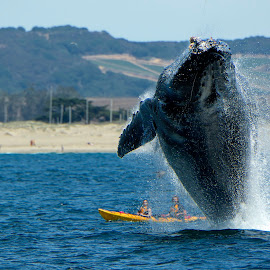 Humpback Whale breaching by Wade Tregaskis - Animals Sea Creatures ( humpback, barnacles, kayakers, breaching, ocean, beach, whale, surprise )