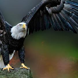 American Pride by John Larson - Animals Birds