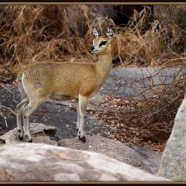My rock by Romano Volker - Animals Other Mammals
