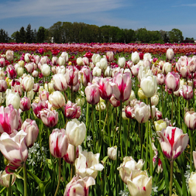 Tulip Farm by Vonelle Swanson - Landscapes Prairies, Meadows & Fields ( nature, or, tulips, flowers, fields, Spring, springtime, outdoors )