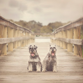 Luca & Lily by Maria Scott - Animals Other ( terriers, dogs, schnauzer, pier, miniature )