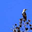 Rufous Hummingbird (immature)