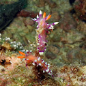 Much-desired Flabellina