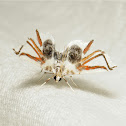 Lygodium Spider Moth