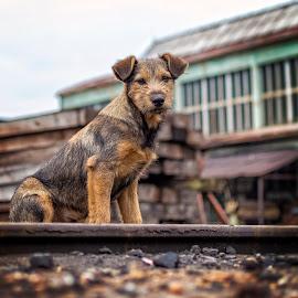 Lineman by Samir Zahirovic - Animals - Dogs Portraits ( #pet, #dog, #lineman, straydog, railroad )