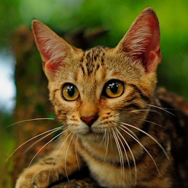 by Cacang Effendi - Animals - Cats Portraits ( cattery, kitten, cat, chandra, animal )