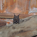 New World Leaf-Nosed Bat