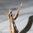 Mantid Moth