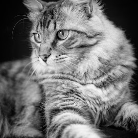 Mr. Majestic by Sean Stevens - Animals - Cats Portraits ( kitten, cat, black and white )