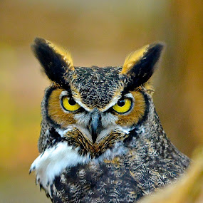 Who Me? by Roy Walter - Animals Birds ( nature, wings, birds, great horned owl, animal )