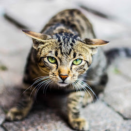 Tabby cat  by Maria Morel - Animals - Cats Portraits ( cat, tabby cat, green eyes )