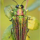 The Real Jewel Beetle