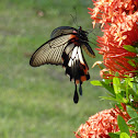Great Mormon Butterfly , female form