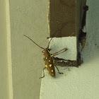 Mango Longhorn beetle