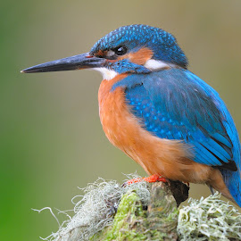 Kingfisher by Mike Thrower - Animals Birds