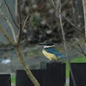 sacred kingfisher (kotare)