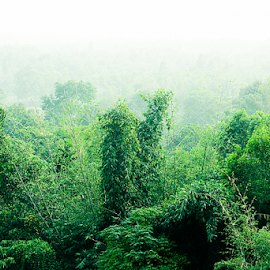 Forest in Haze  by Sadat Hossain - Nature Up Close Trees & Bushes ( haze, bamboo, midday, bangladesh, winter, tree, fog, trees, forest, daylight )