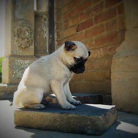 thinker by Terry Fultineer - Animals - Dogs Puppies ( puggeranian )