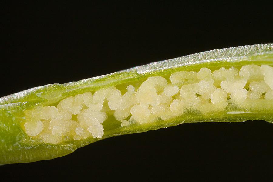 Sección del ovario de Ophrys fusca, en que se aprecian los primordios seminales