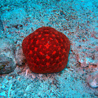 Cushion star red