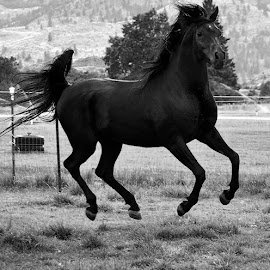 The Black by Tina Marie - Animals Horses ( stallion, arab, black and white, beautiful, horse, black, animal )