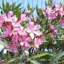 Nerium Oleander (laurel de jardín)