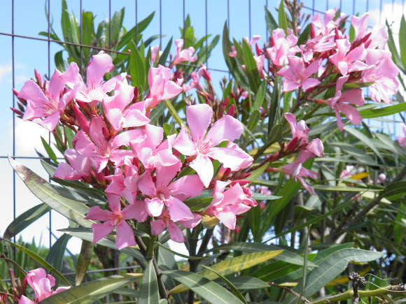 Nerium oleander laurel de jard n project noah for Laurel de jardin