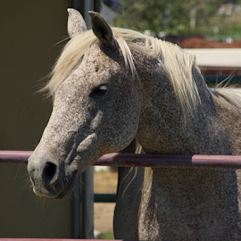 Sweetness by Rhiannon Crothers - Animals Horses ( idaho, horse, summer, grey, arabian )