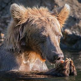 Praying For Salmon by Stuart Partridge - Animals Other Mammals ( grizzly, bear, d600, aslaska, nikon )