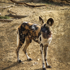 by Judith Dueck - Animals - Dogs Portraits ( spotted, single, african, wildlife, travel, ferel, predator, carnivore, solo, conservation, rare, safari, plain, africa, alone, lonely, moremi, wild, botswana, painted, species, park, national, game, mammal, habitat, hunter, wilderness, wolf )