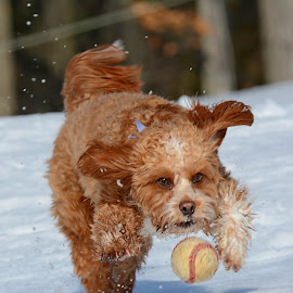 Keep your eye on the ball by Steven Liffmann - Animals - Dogs Playing ( playing, ball, snow, puppy, cavapoo, cute, dog, running,  )