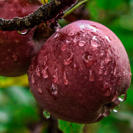 red apples in the rain by Cantea Mihai - Nature Up Close Gardens & Produce ( apple rain drop )
