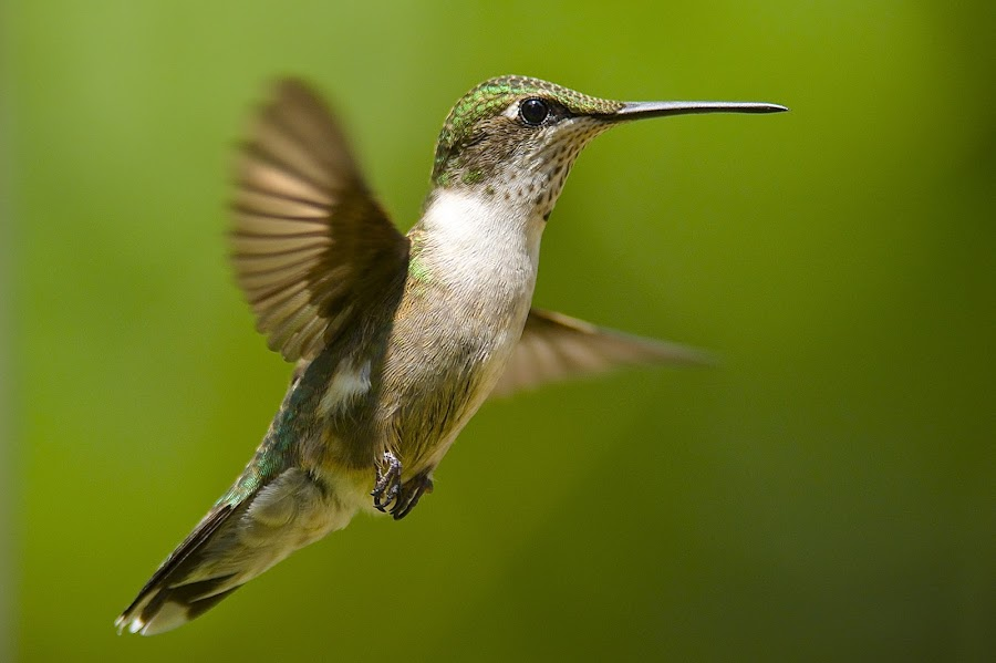 / by Roy Walter - Animals Birds ( wild, flight, animals, wings, hummingbird, wildlife, birds )