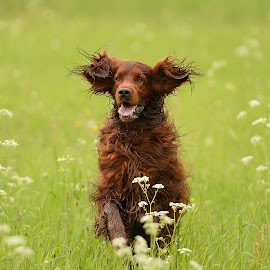Flynn by René van Zon - Animals - Dogs Running