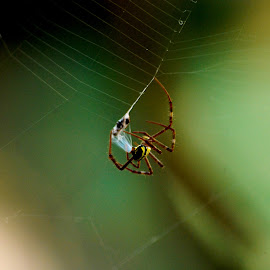 Argiope anasuja Thorell by Vishnu Gopakumar - Nature Up Close Webs ( spidey, argiope, thorell, web, spider, webcaught )