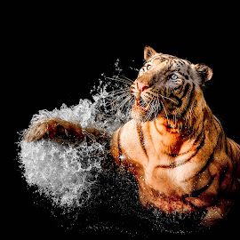 Hungry Tiger by Markus Gunawan - Animals Lions, Tigers & Big Cats