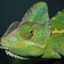 by Phil Bulpin - Animals Reptiles