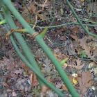 thornbush