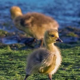Gosling by Thomas Murphy - Animals Birds ( gosling )