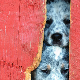 Peeking  by Kurt Bailey - Animals - Dogs Puppies (  )