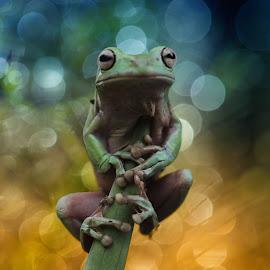 by Herpin Hendriadi - Animals Amphibians ( frog, #herpin, sambas, katak, dumpy )